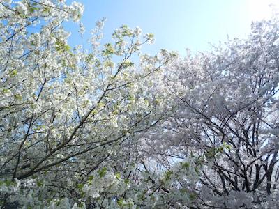 大島桜とソメイヨシノ のコピー.jpg
