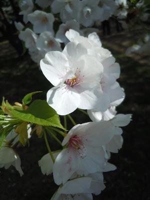 大島桜アップ のコピー.jpg