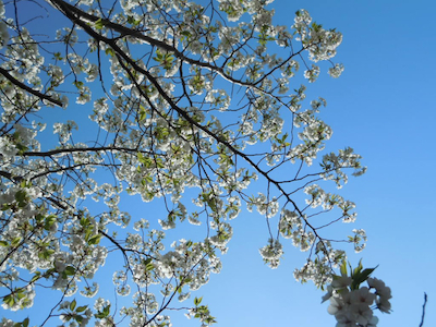 見上げる大島桜 のコピー.jpg