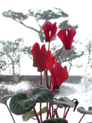 雪とシクラメンblog.jpg